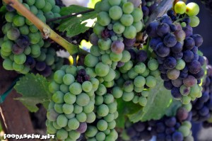 Grapes on the vine at Enriquez Estate Wines